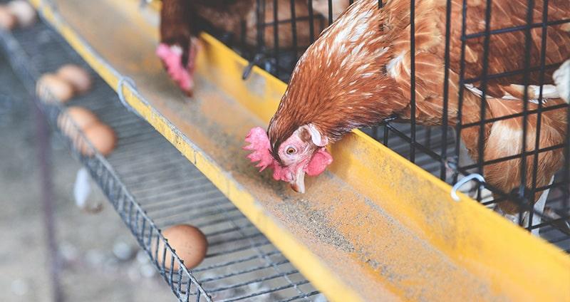 Curso Nutrición Aviar